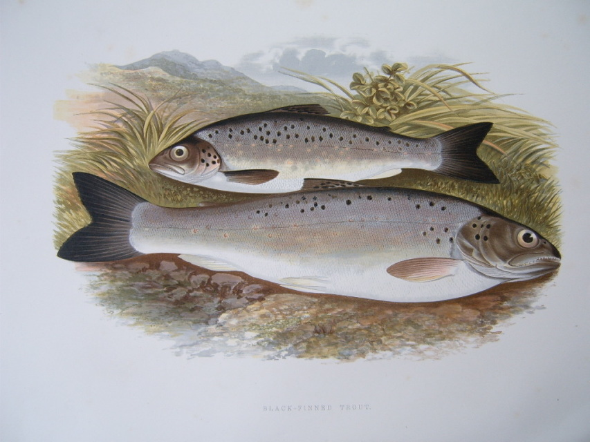 Black finned trout houghton 1875 for Nj fishing reports freshwater